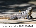 wild black spiny tailed iguana  ... | Shutterstock . vector #1021916749