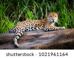 a jaguar relaxes on a tree... | Shutterstock . vector #1021961164