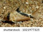 Small photo of False Bandit Cory or Bandit Cory (Corydoras melini)