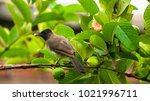 dark capped bulbul feeding on a ... | Shutterstock . vector #1021996711
