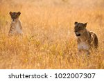 lioness on the hunt  phinda... | Shutterstock . vector #1022007307