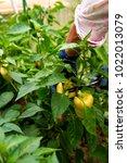 yellow pepper farmer harvesting.... | Shutterstock . vector #1022013079