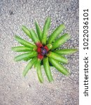 Small photo of Aechmea fasciata or Pink Bromeliad Bloom exotic flowers in the garden