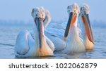 dalmatian pelican  pelecanus...   Shutterstock . vector #1022062879