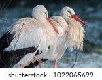 white stork in snow   Shutterstock . vector #1022065699