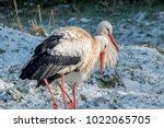 white stork in snow   Shutterstock . vector #1022065705