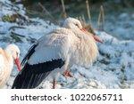 white stork in snow   Shutterstock . vector #1022065711