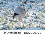 white stork in snow   Shutterstock . vector #1022065729