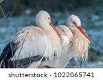 white stork in snow   Shutterstock . vector #1022065741