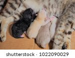 Stock photo cat feeding newborn four kittens kittens black and white color being born 1022090029