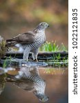 Small photo of The Eurasian Sparrowhawk, accipiter nisus is bathing in forest waterhole in beautiful colorful autumn environment. Pretty colorful contrasting backround with nice bokeh, clear mirroring reflection
