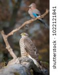 Small photo of Sparrowhawk and Jay. The Eurasian Sparrowhawk, accipiter nisus sitting on the branch in beuatiful colorful autumn environment. Pretty colorful contrasting backround with sitting Eurasian jay.