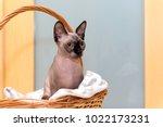 bald hairless cat  the cat of... | Shutterstock . vector #1022173231