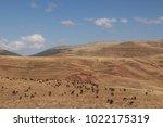gelada baboons in simien... | Shutterstock . vector #1022175319