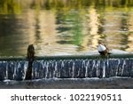 white throated dipper standing... | Shutterstock . vector #1022190511