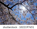 cherry blossom branch under... | Shutterstock . vector #1022197651