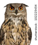 Stock photo portrait of eurasian eagle owl bubo bubo a species of eagle owl in front of white background 102225454