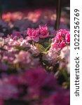 beautiful  azalea bush blossom... | Shutterstock . vector #1022256769