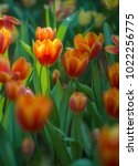 colorful tulips with beautiful... | Shutterstock . vector #1022256775