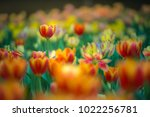 colorful tulips with beautiful... | Shutterstock . vector #1022256781