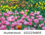 colorful tulips with beautiful... | Shutterstock . vector #1022256805