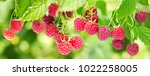 branch of ripe raspberries in a ... | Shutterstock . vector #1022258005