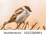 male or female house sparrow or ... | Shutterstock . vector #1022280841