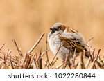 male or female house sparrow or ... | Shutterstock . vector #1022280844