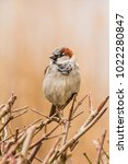 male or female house sparrow or ... | Shutterstock . vector #1022280847
