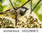 male or female house sparrow or ... | Shutterstock . vector #1022280871