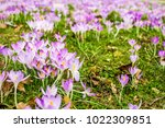 crocus  plural crocuses or... | Shutterstock . vector #1022309851