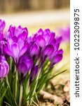 crocus  plural crocuses or... | Shutterstock . vector #1022309875
