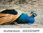 peafowl  peacock  blue and...   Shutterstock . vector #1022323699