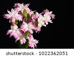closeup of pink and white... | Shutterstock . vector #1022362051