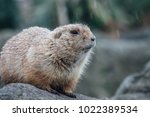a prairie dog scouting the...   Shutterstock . vector #1022389534