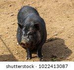 Black Big Vietnamese Pig