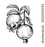pomegranate fruit.  hand drawn...   Shutterstock .eps vector #1022423191