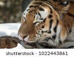 siberian tiger   amur tiger  ... | Shutterstock . vector #1022443861
