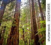 beautiful redwood forest in new ...