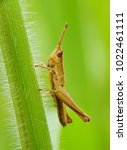 grasshopper macro with nature... | Shutterstock . vector #1022461111