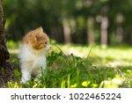 red haired little kitten...   Shutterstock . vector #1022465224