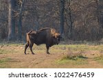 european bison in the forest.... | Shutterstock . vector #1022476459