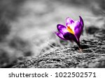 crocus flower. spring nature.... | Shutterstock . vector #1022502571