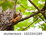 red squirrel on a tree branch | Shutterstock . vector #1022541289