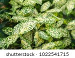 gold dust dracaena  spotted... | Shutterstock . vector #1022541715