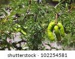 Small photo of Espinillo tree (Acacia caven)