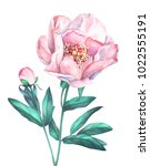 pink peony isolated on white...   Shutterstock . vector #1022555191