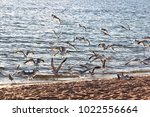 a colony of gulls fly away on a ... | Shutterstock . vector #1022556664