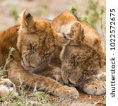 Young  Lion Sibiling Cute Cubs...