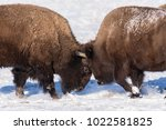 Two Bison Sparring In The Snow...